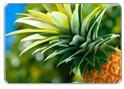 Pesquisa revela propriedades anti-tumorais do abacaxi