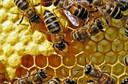 Estafilococcus aureus: mel pode ajudar a combater infecções hospitalares, segundo estudo da Universidade de Sydney