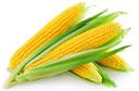 Milho: grão concentra luteína e zeaxantina, substâncias relacionadas à proteção contra catarata e degeneração macular