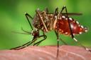 Pesquisa mostra que mosquiteiros tratados com inseticida diminuem população do mosquito transmissor da dengue